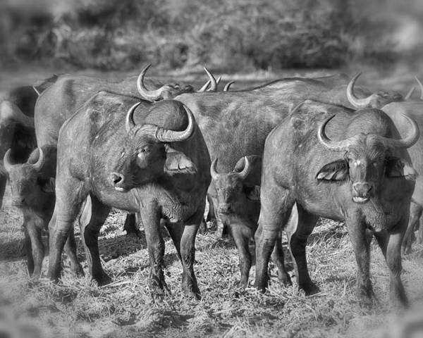 Photograph - Cape Buffalo Herd by Gigi Ebert
