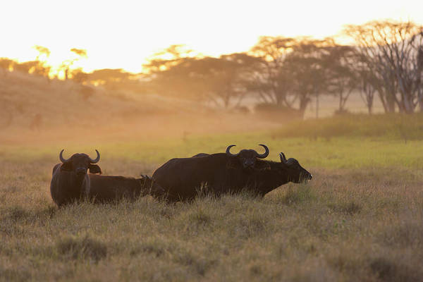 Back In The Day Photograph - Cape Buffalo Syncerus Caffer At Sunset by Martin Harvey