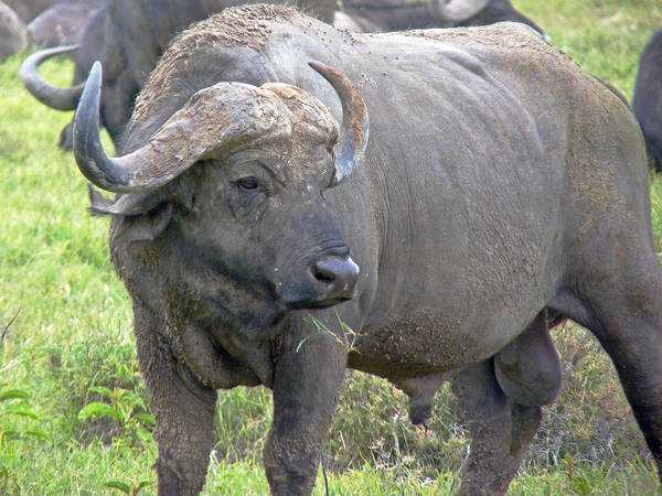 Photograph - Cape Buffalo by Tony Murtagh