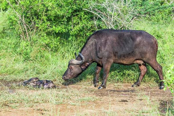 Syncerus Caffer Photograph - Cape Buffalo With Her Stillborn Calf by Peter Chadwick/science Photo Library