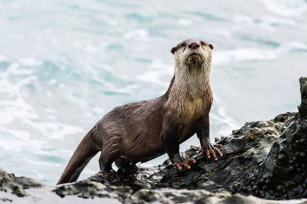 Aonyx Photograph - Cape Clawless Otter by Peter Chadwick