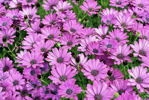 African Daisies Photograph - Cape Daisies (osteospermum 'sunny Mary') by Anthony Cooper/science Photo Library