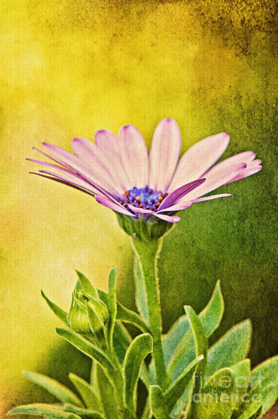 African Daisies Photograph - Cape Daisy by Lois Bryan