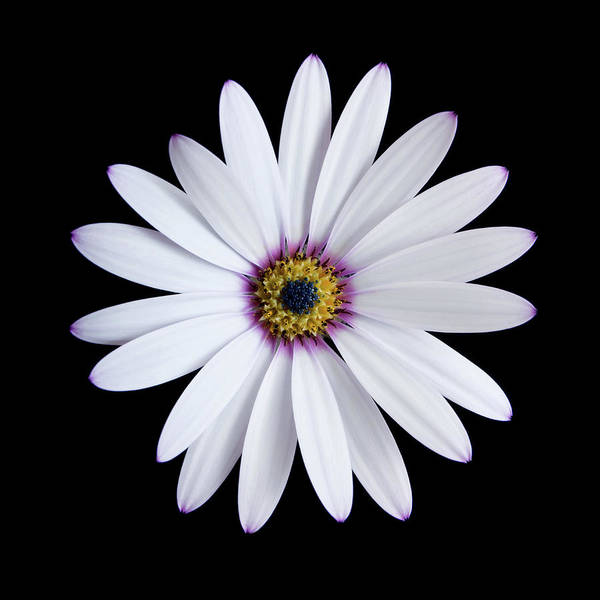 African Daisies Photograph - Cape Daisy (osteospermum Sp.) by Paul Whitehill/science Photo Library