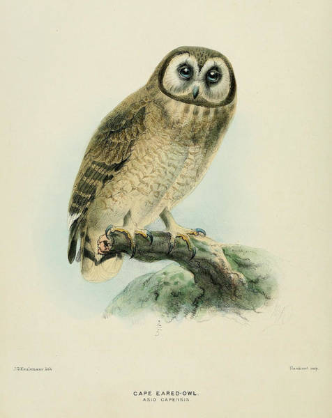 Owl Painting - Cape Eared Owl by Dreyer Wildlife Print Collections