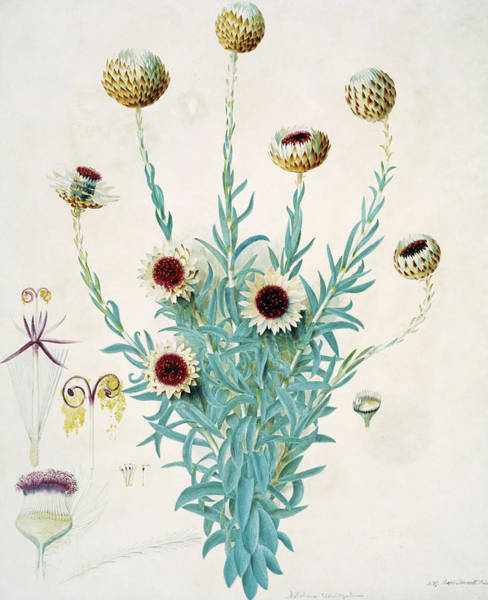 Asteraceae Wall Art - Photograph - Cape Everlasting (syncarpha Vestita) by Natural History Museum, London/science Photo Library