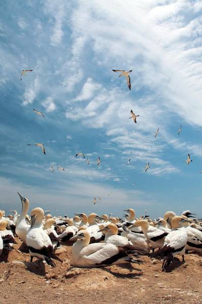 Wall Art - Photograph - Cape Gannet Colony by Peter Chadwick/science Photo Library