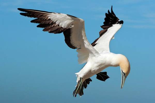 Wall Art - Photograph - Cape Gannet In Flight by Peter Chadwick/science Photo Library