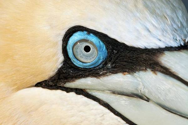 Wall Art - Photograph - Cape Gannet by Peter Chadwick/science Photo Library