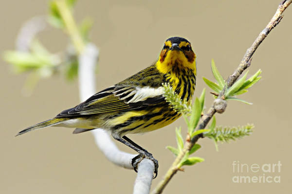 Photograph - Cape May Warbler by Larry Ricker