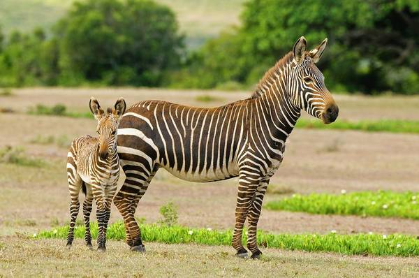Wall Art - Photograph - Cape Mountain Zebra And Foal by Peter Chadwick/science Photo Library