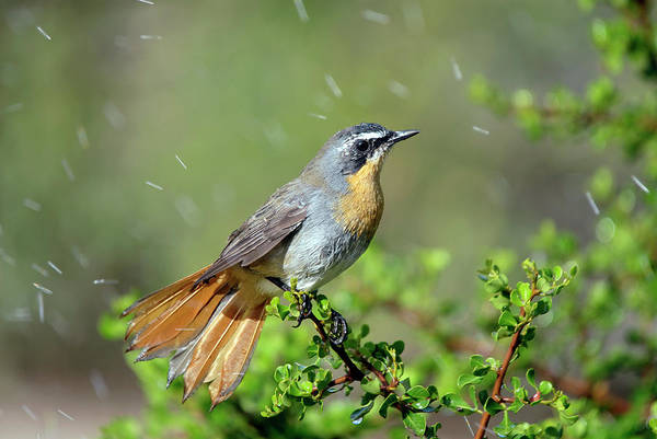 Wall Art - Photograph - Cape Robin Bathing by Peter Chadwick/science Photo Library