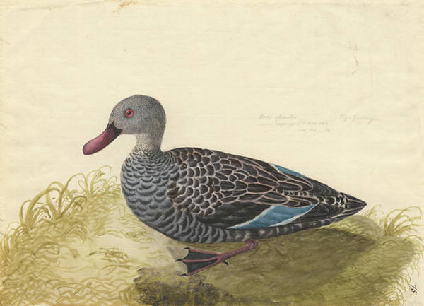 Anatidae Wall Art - Photograph - Cape Teal by Natural History Museum, London