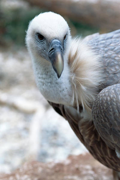 Falconiformes Photograph - Cape Vulture by Mauro Fermariello/science Photo Library