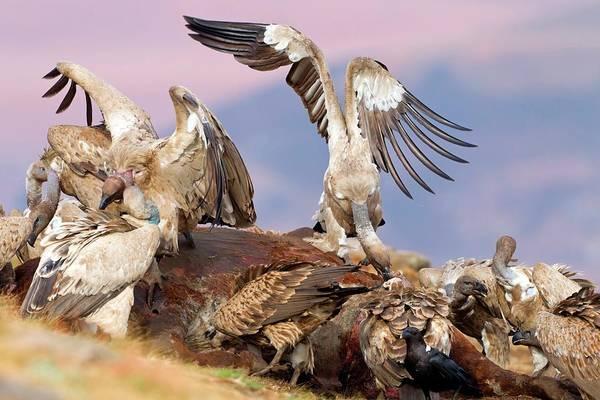 Cape Vultures Feeding Art Print