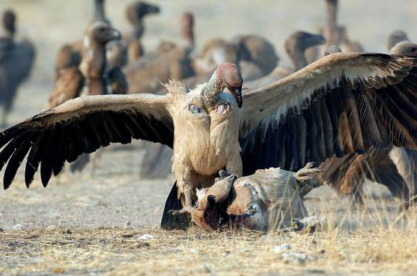 Accipitridae Wall Art - Photograph - Cape Vultures Fighting by Tony Camacho/science Photo Library