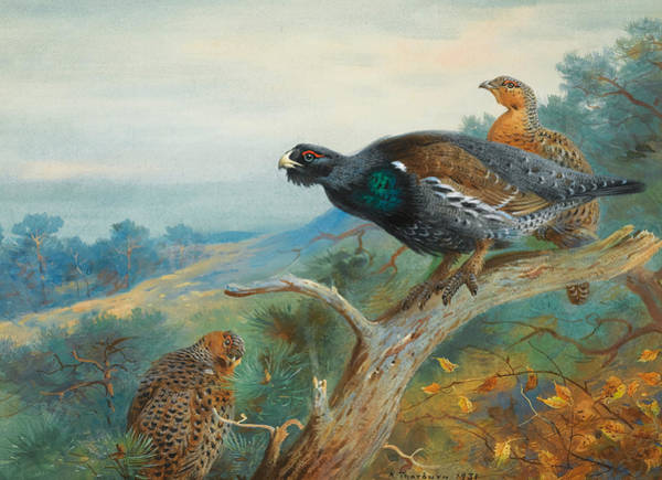 Wall Art - Painting - Capercaillie by Archibald Thorburn