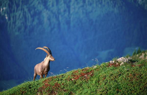 Ibex Wall Art - Photograph - Capra Ibex Bouquetin by John Elk