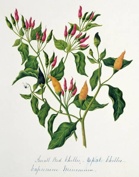 Nepal Wall Art - Photograph - Capsicum Minimum Chillies by Natural History Museum, London/science Photo Library