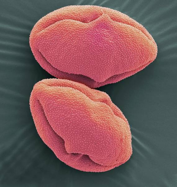 Micrography Wall Art - Photograph - Capsicum Pollen Grains by Steve Gschmeissner/science Photo Library