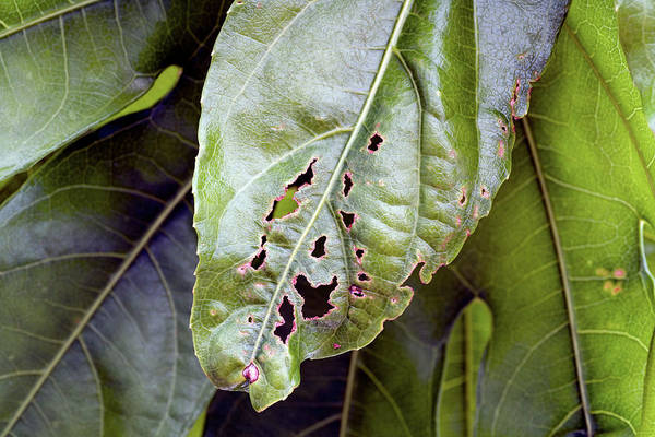 Wall Art - Photograph - Capsid-damaged Fatsia Japonica Leaf by Geoff Kidd/science Photo Library