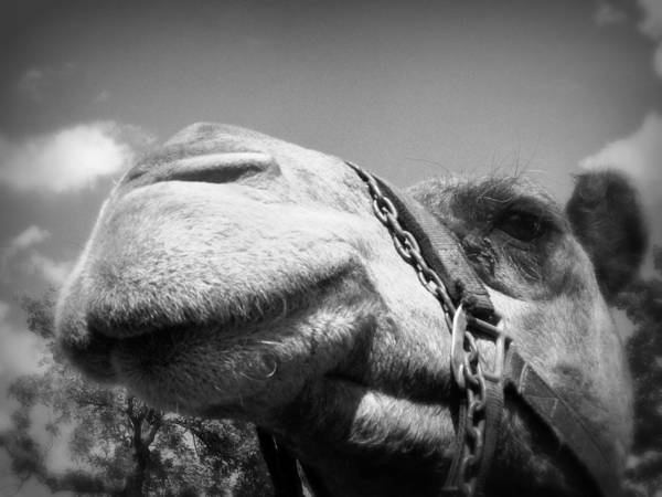 Photograph - Captivating Camel by Lora Mercado