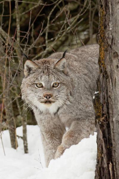 Wall Art - Photograph - Captive Canada Lynx Or Canadian Lynx by Adam Jones