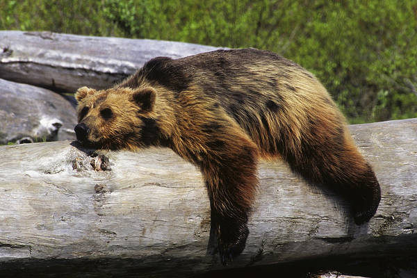 Laying Out Photograph - Captive Grizzly Lays On A Log by Doug Lindstrand