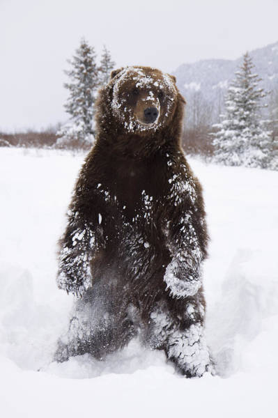 Wall Art - Photograph - Captive Grizzly Stands On Hind Feet by Doug Lindstrand