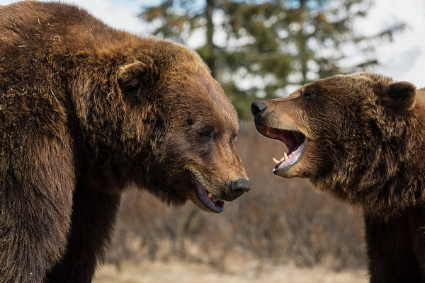 Wall Art - Photograph - Captive  Male And Female Brown Bears by Doug Lindstrand