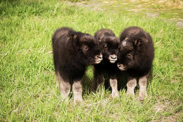 Captive  Three Newborn Calf Musk Ox Art Print