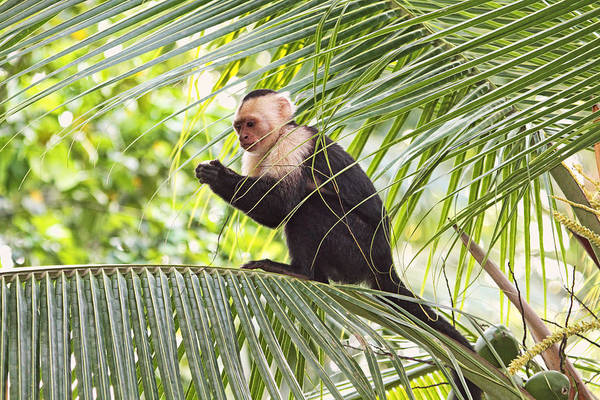 Photograph - Capuchin Monkey On A Palm Tree by Peggy Collins