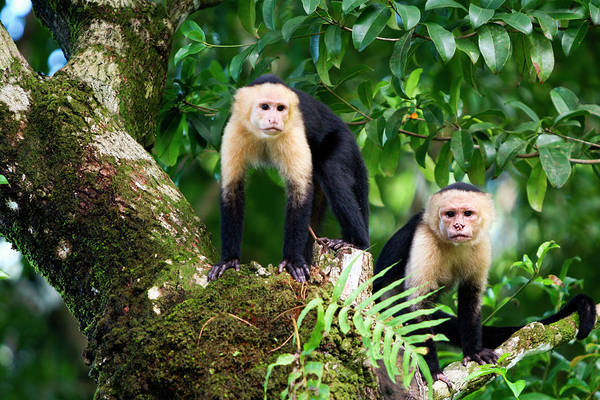 Leaf Monkey Wall Art - Photograph - Capuchin Monkeys, Punta Banco, Costa by James White