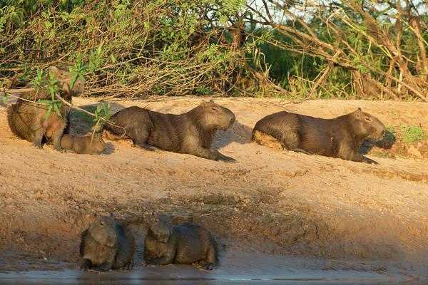 Stoney Photograph - Capybara Family Resting On The Beach by Jan and Stoney Edwards