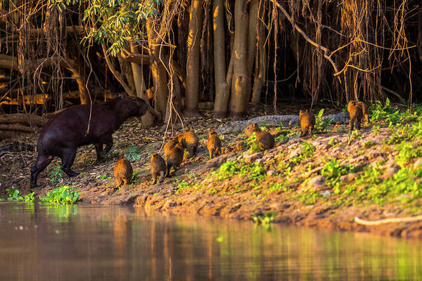 Wall Art - Photograph - Capybara Leads Her Group Of Babies by James White