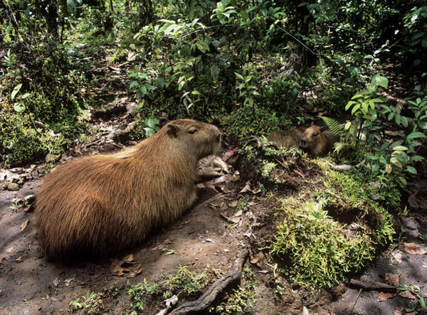 Rodents Photograph - Capybaras by Dr Morley Read/science Photo Library