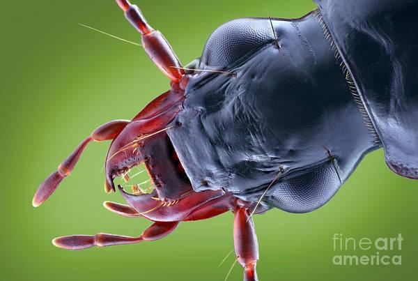 Photograph - Carabid Beetle Head by Matthias Lenke