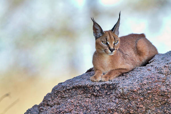 Feline Photograph - Caracal by Alessandro Catta