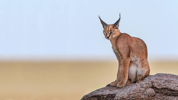 Feline Photograph - Caracal On Mars by Alessandro Catta