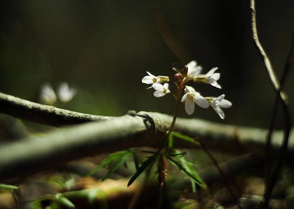 Photograph - Cardamine Concatenata Cutleaf Toothwort by Rebecca Sherman