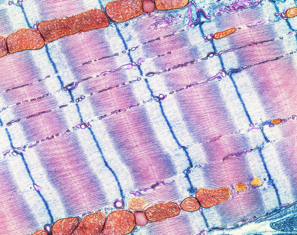 Transmission Electron Microscope Wall Art - Photograph - Cardiac Muscle by Thomas Deerinck, Ncmir