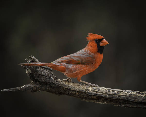 Photograph - Cardinal 2011-1 by Donald Brown