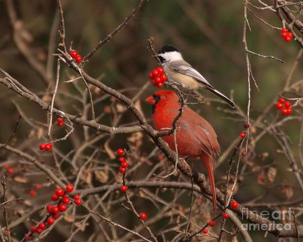 Wall Art - Photograph - Cardinal And Chickadee by Frank Piercy
