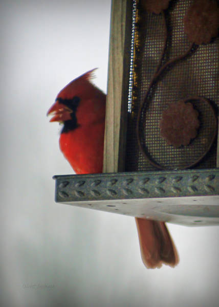 Photograph - Cardinal At The Feeder by Cricket Hackmann