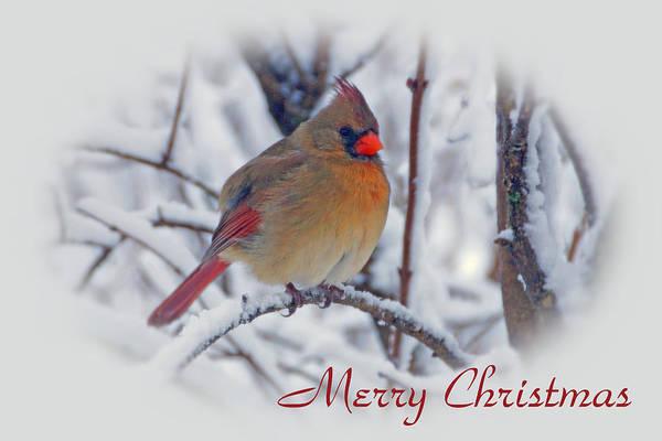 Photograph - Cardinal Christmas  by Sandy Keeton