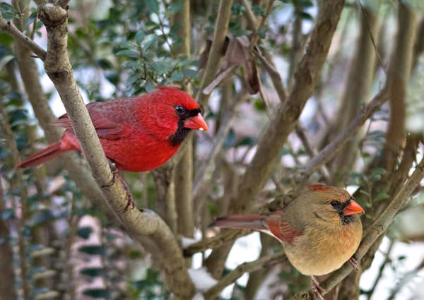 Photograph - Cardinal Couple by Jemmy Archer