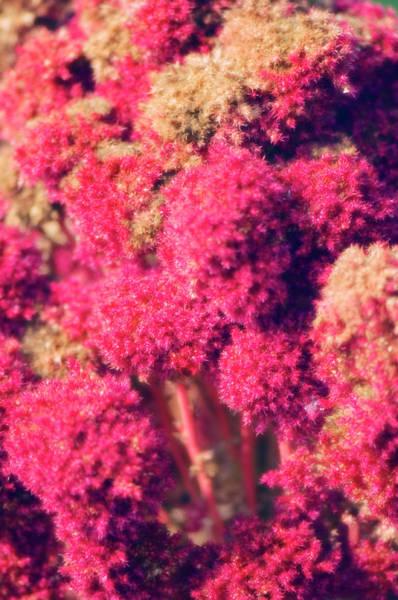 Pendant Photograph - Cardinal Flowers (amaranthus Caudatus) by Maria Mosolova/science Photo Library