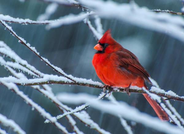 Cardinal In A Storm  Art Print
