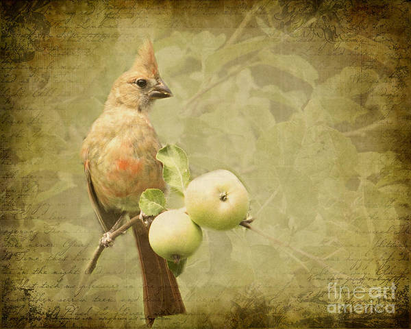 Photograph - Cardinal In Apple Tree by Pam  Holdsworth