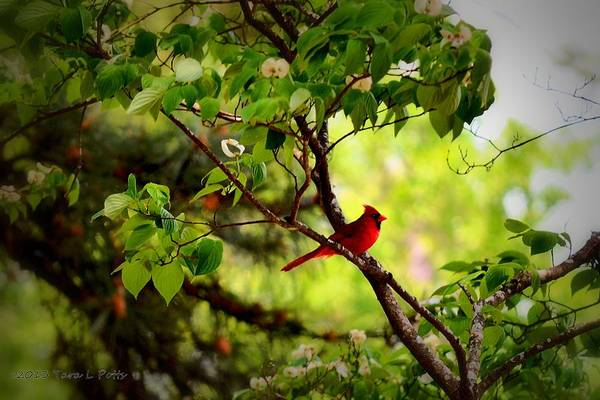 Conyers Photograph - Cardinal In Dogwood by Tara Potts